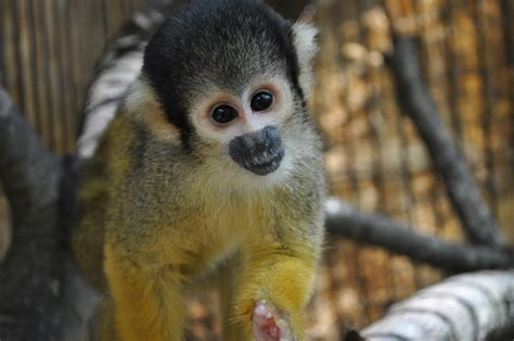 pet monkey squirrel monkey pet attack www pixshark com images galleries with a bite