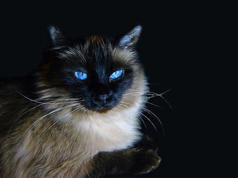 Ragdoll Cat Breed  20 Beautiful Ragdoll Images To Melt