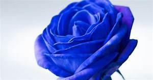 Blau De Meine Rechnung : sensation rosenbl ten in reinem blau mein sch ner garten ~ Themetempest.com Abrechnung