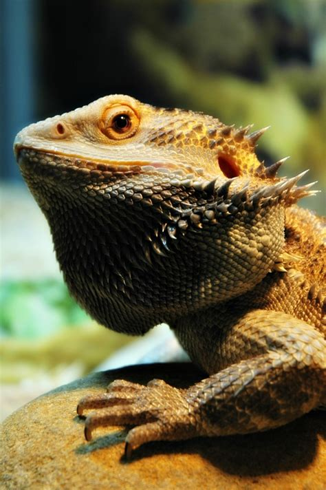 Here are only the best dragon head wallpapers. Bearded Dragon Wallpaper ·① WallpaperTag
