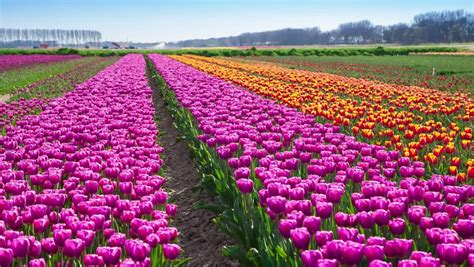 tulips bed farm hd tulips bed farm hd 28 images tulips farm near the creil town beautiful morning scenery in