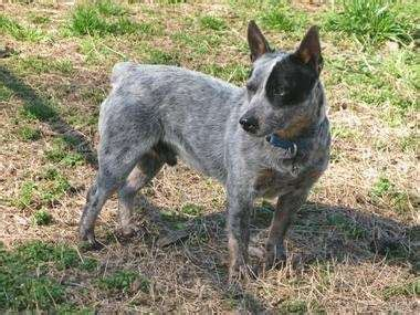miniature blue heeler shedding what are miniature heelers quora