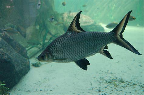 bala shark bala shark fish live tropical fish