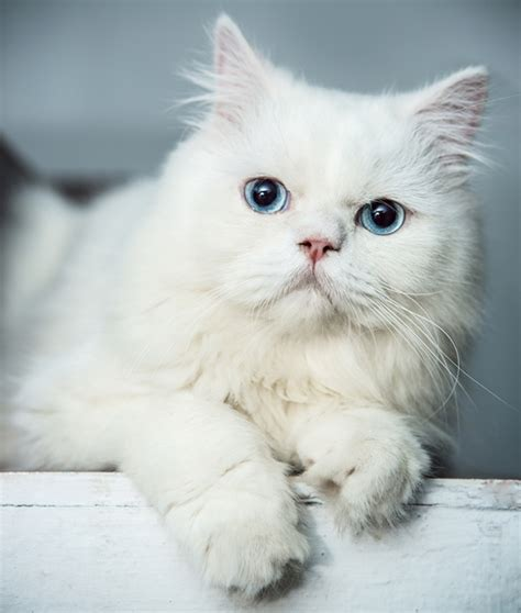 kitten eye color xoxoxoxoxoxox whiteout cats kittens cat eye