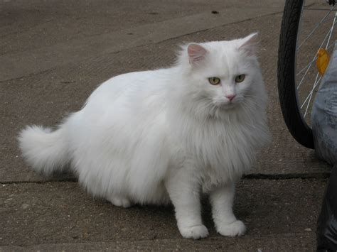 1000+ Images About White Kitties..are Such Diva's On Pinterest