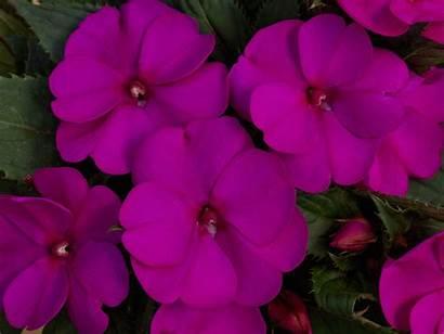 Sunpatiens Compact Purple Impatiens Pink Sakata Sun