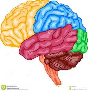 Human Brain Illustration