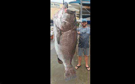 grouper florida pound coast years caught southwest warsaw