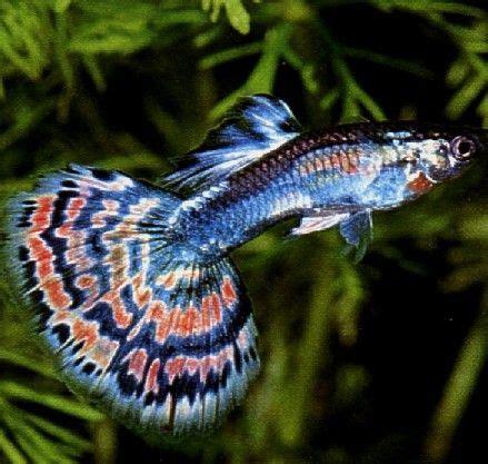 les 19 meilleures images 224 propos de poissons sur animaux malaisie et poissons de