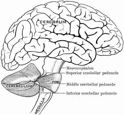 Brain Clipart Parts Connection Etc