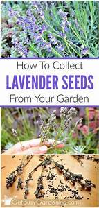 Did You Know That You Can Grow New Lavender Plants From The Seeds That You Collect In Your Own