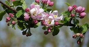 Arkansas State Flower - The Apple Blossom