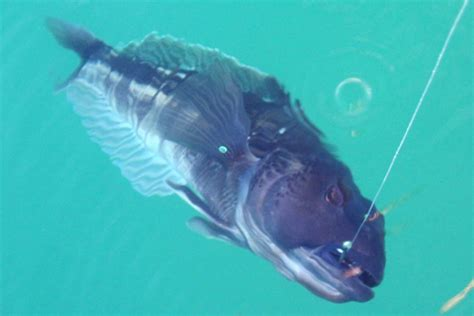 How To Fish For Cod From A Boat by How To Catch Blue Cod From The Shore The Fishing Website