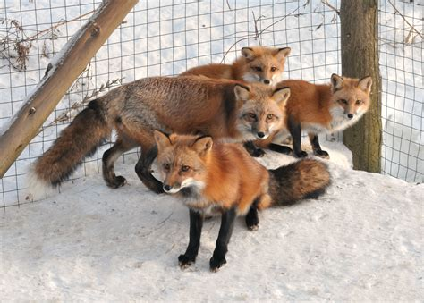 fox pet wildlife foxes red fox pet fox exotic pet vulpes vulpes i love foxes fox kits happy fox foxes as