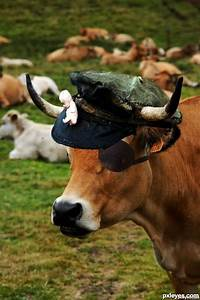 Pirate Cow Picture  By Bugasnfa For  Labeled Cow Photoshop