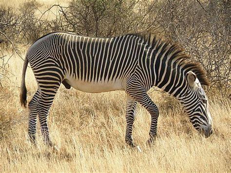 africa zebra grevy kenya africaguide east