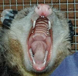 Opossum Bite