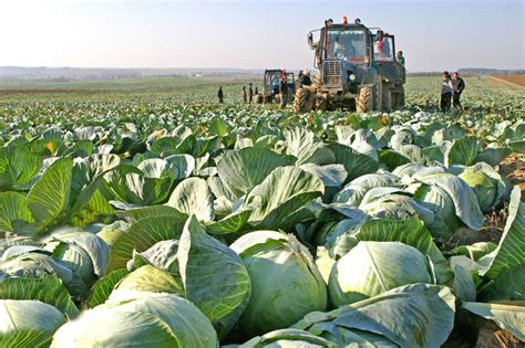 Cabbage harvesting | Official Website of the Republic of ...