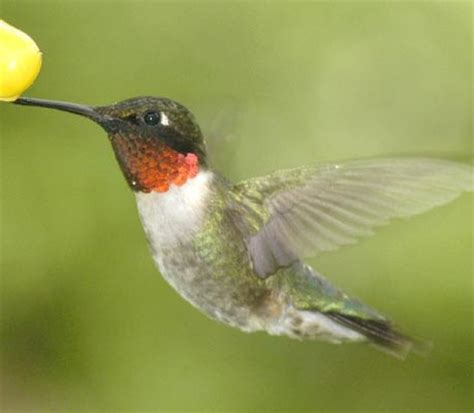 facts about ruby throated hummingbirds facts about all