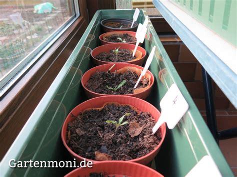 welche erde für tomaten tomaten zum richtigen zeitpunkt ans 228 en und pikieren