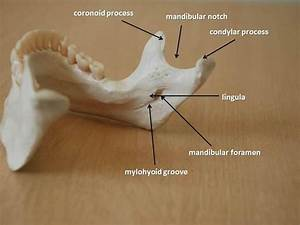 Anatomy of the mandible: mandibular notch, condylar ...