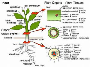 17 Best images about Plant anatomy on Pinterest ...