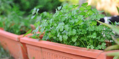 grow cilantro growing cilantro