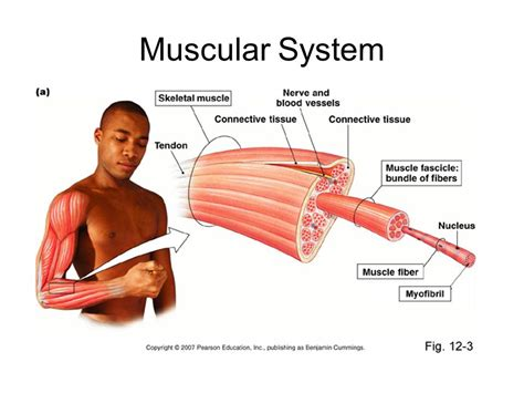 Muscular System Images Muscular System Ppt