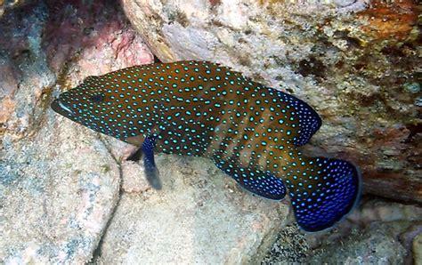 grouper roi peacock fish