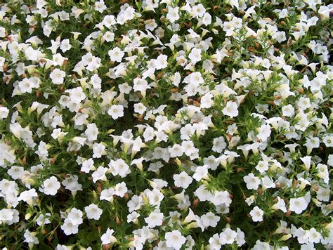 ground cover with white flowers online plant guide petunia blanket white blanket white petunia
