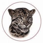 Leopard Clouded Sunda Neofelis Diardi Cat Borneo