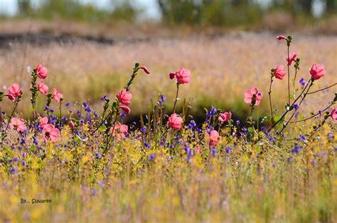 อุทยานแห่งชาติผาแต้ม เปิดให้ชมทุ่งดอกไม้ป่า
