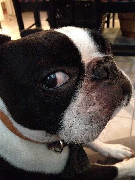 reasons boston terriers   worst indoor dog breeds