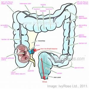 intestines diagram - 28 images - large intestine diagram ...
