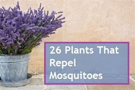 plants that repell mosquitoes 1000 images about mosquitos what plants help to repel on pinterest mosquitoes plants that
