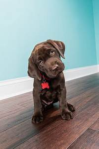 A Sitting Chocolate Labrador Puppy With Head Tilted 8