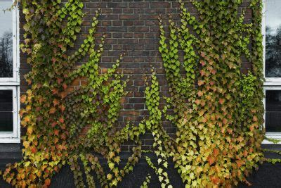 Best Vines For Brick Walls  Tips On Choosing Vines For