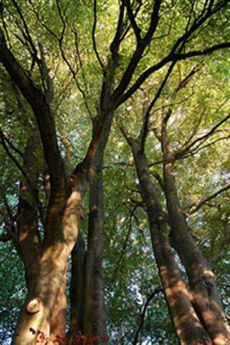 green cornercrabwood guyana chronicle