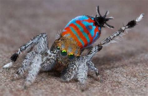 scoperte due nuove specie  ragni  australia