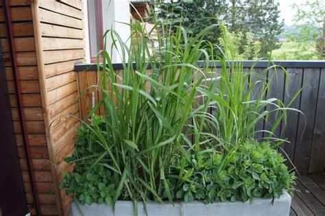gräser für balkon gr 228 ser f 252 r balkon beliebt balkon gras winterhart