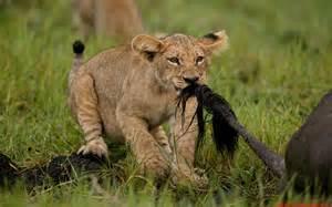 Nature Animals Lions