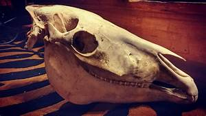 Real Domestic Horse Skull