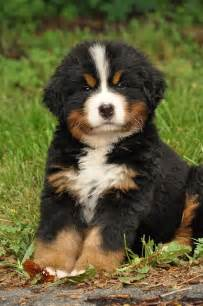 Bernese Mountain Dog Ever Cutest Puppy