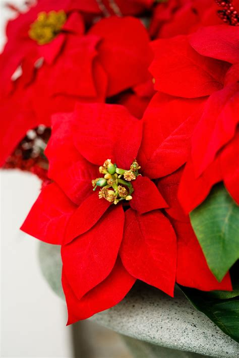 are christmas trees poisonous to cats poinsettias and cats dogs poinsettias poisonous to cats
