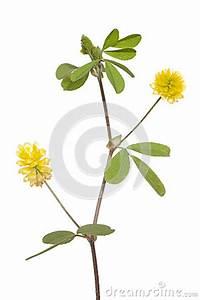 Gelber Klee Im Rasen : gelbklee stockbilder bild 31476294 ~ Markanthonyermac.com Haus und Dekorationen