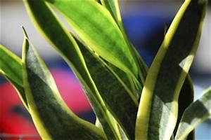 Zimmerpflanze Lange Grüne Blätter : sansevieria so pflegen sie die zimmerpflanze ~ Markanthonyermac.com Haus und Dekorationen
