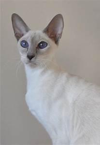 Sahja Siamese Cats | Oriental Cats | Females Cats