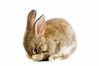 Rabbit Cottontail Transparent Bunny Bunnies Easter Pngio