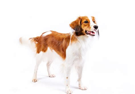Nederlandse Kooikerhondje Puppies For Sale Akc Puppyfinder