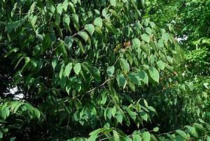 Haie Pas Cher Qui Pousse Vite : quel arbre planter qui pousse vite ~ Premium-room.com Idées de Décoration
